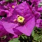 Purple Queen Bouganvillea
