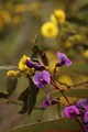 Hardenbergia and wattle