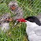 Food for the young Arctic Tern