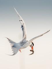 White Tern-2289