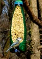 Plavetna sjenica -Parus caeruleus