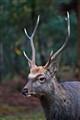 Wild deer