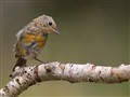 European juventile Robin