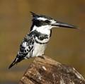 Banded Kingfisher - Chobe Botswana