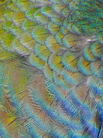 iridescent feathers