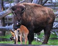 Bison with Calf 2010 0280