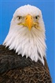 Bald eagle against blue