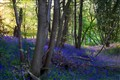 Bluebells Wood at Sunrise