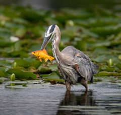 Great blue heron with a gold fish