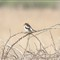 WoodChat Shrike32A