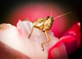Rose Cricket