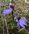 Blue caladenia