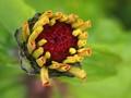 New petals emerging on a Zinnia flower