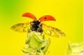 Ladybug: Full wingspan