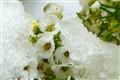 Iced Alyssum