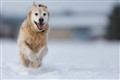 Golden_Retriever_In_Snow
