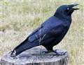 Raven-4756