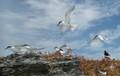 Isla-birds