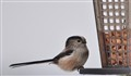 A Long tailed tit may well contain nuts in a very cold winter.
