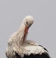 Beautiful stork
