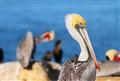 Pelicans at The La Jolla Cove