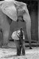 Baby Elephant with Mama b&w