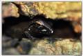 Bombay Bush Frog