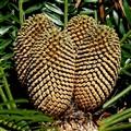 Cycad cones