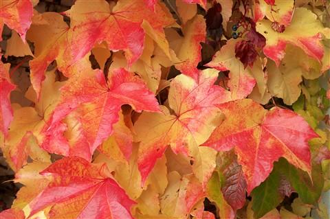 Feuilles automne à Begnins 2012