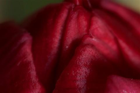 tulip_crop