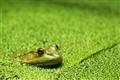 Frog amid duckweed