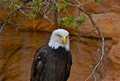 Bald Eagle in NM