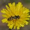 DSC0272712-04-16 good fly: Hover flies feed on flowers but the larva eats aphids and insect eggs.  They are a good thing to have in your garden.