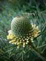 Isopogon bud