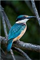 """Collared Kingfisher"""