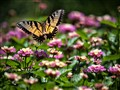 Sunlit Swallowtail