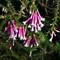 Espacris Longiflora