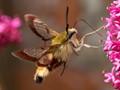Gathering nectar whilst Flying!