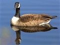 Canada Goose on Blue