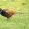 pheasant male 2