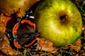 A nice apple