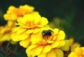 Bumble Bee Gathers2