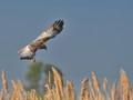 Marsh-harrier  / Circus aeruginosus