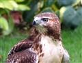 Red Tail Hawk, 9/8/11