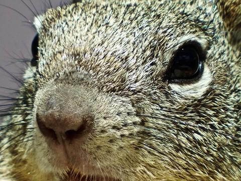 Rock squirrel 2