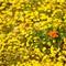 Calfifornia Wildflowers