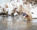 Female mallard duck on a snowy day