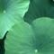 Waterlily 1: Nikon Coolscan IV