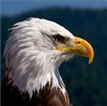 Bald Head Eagle close to Vancouver