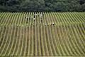 Wineyard around Epernay - France.